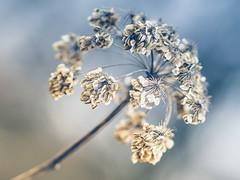 Wilde Möhre IV (Vintage lens lover) Tags: natur outdoor pflanze feld wiese bokeh schärfentiefe februar winter olympus omd em1 m43 zuiko 75mm18