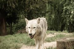 DSC00275 (ifernando2) Tags: wolf wildanimal lobo