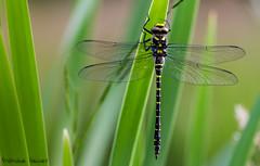 Marmule (stephanegachet) Tags: france macro canon insect dragonfly bretagne morbihan insecte libellule finistère gachet cordulegaster stephanegachet