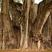 A maior árvore do mundo!