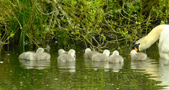 Swan Family Tehidy Park Nature Reserve Cornwall 2 (Cornishcarolin. Thank you everyone xxxx) Tags: nature water birds cornwall wildlife swans cygnets tehidycountrypark tehidynaturereserve