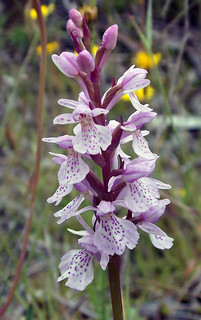 Heath spotted orchid - Dactylorhiza maculata