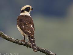 2- El halcn mata culebras o reidor(snake hawk) es un gran aliado para las aves ms pequeas, quienes agradecen su gusto por las culebras que depredan sus nidos, y tambin de los mismos hombres, ya que tambin se alimenta de serpientes venenosas.!!!! Orde (Cimarrn Mayor !!!7,000.000 DE VISITAS, GRACIAS!!) Tags: naturaleza bird fauna libertad costarica ave libre montaas valdivia panta dominicano guaicur ordenfalconiformes familiafalconidae libertee cimarrnmayor halcnreidor canoneos7dmarkii 7dmarkii josmiguelpantalen canon7dmarkii telefoto700mm halcnrisueo nombreingleslaughingfalconalsocalledthesnakehawk lugardecapturacaminoaturrialba gneroherpetotheres nombrecomnguaco nombrecienfificoherpetotherescachinnans
