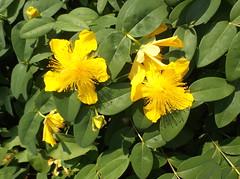 360 (en-ri) Tags: verde leaves foglie giallo fujifilm cespuglio fiorellini
