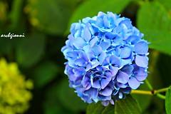ortensia (archgionni) Tags: flowers blue macro verde green nature blu violet natura picturesque viola flowerlover thisphotorocks macroelsalvador unlimitedphotos