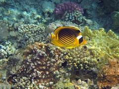 Schnorcheln in gypten (Dorothee Rie) Tags: red sea coral golf meer underwater gulf dahab von egypt snorkeling tropic reef aqaba rotes schnorcheln tropisch korallenriff fypten