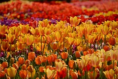 continuation (armykat) Tags: flowers nature floral garden tulips flowerbed longwoodgardens natureycrap kennettsquarepennsylvania tulipalooza tulipalooza2015