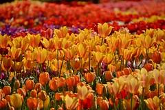 continuation (armykat) Tags: flowers nature floral garden tulips flowerbed longwoodgardens natureycrap kennettsquarepennsylvania tulipalooza tulipalooza2015