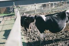 201507 Dural Farm (Jaygaophoto) Tags: cow sheep farm organic dural