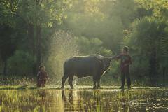Showers buffalo farmer (Sutipond Somnam) Tags: life people green water field asian thailand amazing buffalo asia nakhon sakon thaifarmer wanonniwat wanonniwas