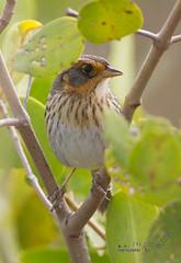 Saltmarsh Sparrow.jpg (sigolsen1) Tags: saltmarshsparrow handheld birding canon500mmf4is canon7d pinellas wildlife florida