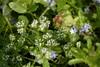 Weinbergsfeldsalat 2 (tama*) Tags: mai blüten wildpflanze