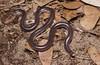 Proximus Blind Snake (Anilios proximus) (elliotbudd) Tags: proximus blind snake anilios ramphotyphlops nsw tweed heads northern rivers fingal beach