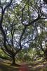 Green, North Blvd, West University, Texas (AlphaTangoBravo / Adam Baker) Tags: liveoak westu northblvd houston tx southblvd tree canopy sidewalk zenitar1628fisheye pentaxk1