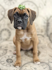 All I want for Christmas is a new puppy... (dog ma) Tags: faith dark fawn boxer puppy dogma jodytrappephotography nikon d750 nikkor 50mm cute adorable precious pup k9