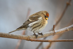 Auðnutittlingur - Redpoll - Carduelis flammea (oskar.sigurmundason) Tags: auðnutittlingur redpoll carduelis flammea nikon d500 sigma 150600 island iceland national geographic ngc birds birding