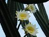 Three White Yellow Cactus Flowers (hastuwi) Tags: eastjava batu jawatimur indonesia idn selecta kekep 3