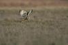 R17_7603 (ronald groenendijk) Tags: cronaldgroenendijk 2017 asioflammeus rgflickrrg animal bird birds birdsofprey groenendijk nature natuur natuurfotografie outdoor owl owls ronaldgroenendijk roofvogels shortearedowl velduil vogel wildlife