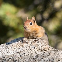 IMG_9429 (ben.roberts999) Tags: goldenmantledgroundsquirrel mammal nv ophircreek reno squirrel tahoemeadows usa wildlife