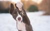 Hi! (Wiktoria Frąszczak) Tags: winter pet dog animal animalphoto snow january 2017 white light chocolate bordercollie border collie hi five outdoor outside