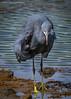 Western reef heron (Sreelesh Sreedhar) Tags: heron animal aquatic nature bird birdphotography birding tele nikon nikonflickraward ngc nikond7100 nikon200500 outdoor oman wildlife water angrybird