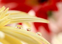 Hope springs_7DWF Friday Flora (keiko*has) Tags: 7dwf friday flora hope forthespring droplet yellow orange red gerbera