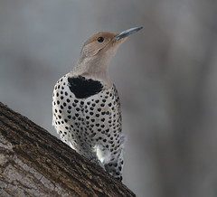 Female Northern Flicker (fethers1) Tags: backyardwildlife bird coloradowildlife