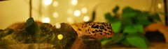 curiouser and curiouser (gale.savannah93) Tags: leopardgecko gecko reptiles pets animals herpetology terrariums toast
