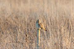 ShortEaredOwl-0007.jpg (vorneo) Tags: birdofprey shortearedowl seo bird wild classaves orderstrigiformes familystrigidae genusasio phylumchordata speciesaflammeus wildbird kingdomanimalia binomialnameasioflammeus