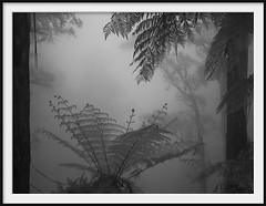 deep forest 1 (Andrew C Wallace) Tags: deepforest mist fog rain mountain domdomsaddle trees victoria australia ir infrared olympusomdem5 microfourthirds m43 blackandwhite bw