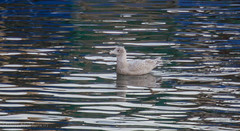 Glaucous Gull, Troon Harbour (md93) Tags: glaucousgull troon harbour fishing boats birds seal ayrshire