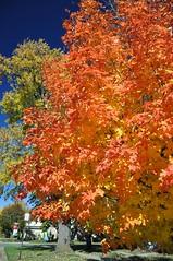 Candy Tree (cmu chem prof) Tags: mountpleasant isabellacounty michigan autumn fallcolor circularpolarizer mapletree