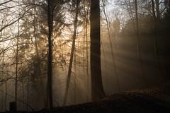 bogn da sulegl (Sonnenbad) (Toni_V) Tags: m2403113 rangefinder digitalrangefinder messsucher leica leicam mp typ240 type240 28mm elmaritm elmaritm12828asph hiking wanderung uetliberg üetzgi zurich zürich sundaymorningphototour fog nebel mist wald forest wood sunrise sonnenaufgang friesenburgweg switzerland schweiz suisse svizzera svizra europe analogefexpro2 niksoftware ©toniv 2017 170219