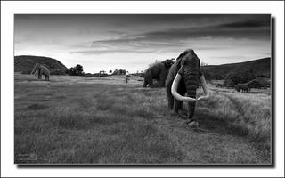 Grazing mammoths