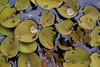 ATU_9961_Orelha de Onça_LR (Ana Taemi) Tags: brazil wildlife natureza pantanal matogrossodosul waterplant waterfern salviniaauriculata plantaaquática orelhadeonça carrapatinho parquenacionaldopantanal brazilianwetlands