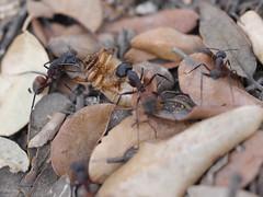 P1030901 (Dr Zoidberg) Tags: hormigas escarabajo zuiko50mmmacro