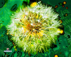 The Dandelion (FotoCheez) Tags: seattle christmas camera city bridge family flowers blue autumn winter friends light red summer test horse music house lake fish flower color building green bird art fall ice beach dogs girl beautiful grass leaves animal animals rock fog architecture clouds barn forest butterfly river garden walking landscape fun boats island happy fire coast amber boat duck washington leaf spring rocks pretty eagle hiking working prism screen hike bugs dandelion refraction seahawks fotocheez