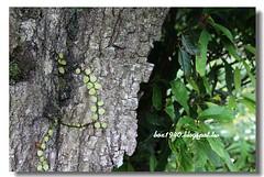 IMG_0365 (盒子(Box)) Tags: 三峽 茶園 槭樹 蛇莓 菫菜 薊 森林步道 鳥不踏 扛板歸 熊空農場 台灣農林 熊空休閒農場 熊空茶園 海拔七百公尺