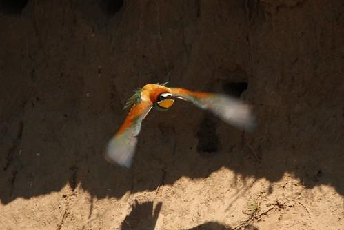 Guêpier d'Europe (4) - Merops apiaster