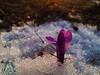 Fiore nella neve - Majella - Abruzzo - Italy
