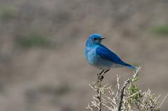 Bluebird (*wildbio*) Tags: