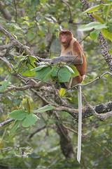 Nasique (mbriola) Tags: mammal monkey wildlife malaysia borneo bako singe mammifre malaisie nasique endmique nasalis larvatus briola
