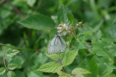 Baumweiling (Aah-Yeah) Tags: white black butterfly bayern schmetterling achental veined chiemgau aporia crataegi tagfalter marquartstein baumweisling