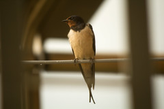 Swallow (Felafel Squarcia) Tags: light bird nature thread animals fly drops wings swallow plume rondine