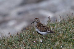 Dunlin / Bonte strandloper (Kees Waterlander) Tags: birds scotland unitedkingdom vogels gb dunlin calidrisalpina foula bontestrandloper