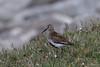 Dunlin / Bonte strandloper (Kees Waterlander) Tags: birds scotland unitedkingdom vogels gb dunlin calidrisalpina foula bontestrandloper