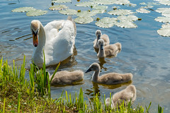 Family of adult and little mute swans (Cygnus olor) on the lake Negova in Slovenia (Denis Bence) Tags: family baby lake cute bird nature water animal closeup swan close little wildlife small feathers slovenia cuddly float muteswan cygnusolor lakenegova