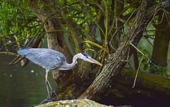 heron stalking (AngelCrutch) Tags: uk bird heron nature fishing wildlife yorkshire hunting beak wakefield waterfowl westyorkshire longlegs newmillerdam catchingfish