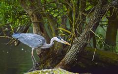 heron stalking (AngelCrutch) Tags: uk bird heron nature fishing wildlife yorkshire hunting beak wakefield waterfowl westyorkshire longlegs newmillerdam catchingfish