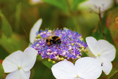 Garden Guests (Bosca Fotograf) Tags: life flowers wild summer england nature beauty shop liverpool photoshop canon garden insect photography photo europe natural wildlife bees hill insects bee honey pollen dslr mossley 600d